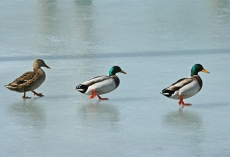 DSC_0027a 3 ducks on ice
