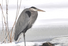 Heron on floating island, winter copy
