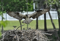 Londonderry_ ospery nest, 2010-05-16 004sf