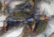 2007-07-30 Higgins soft crabs 004g