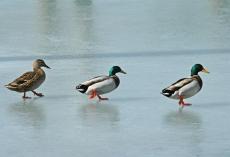 DSC_0027a 3 ducks on ice