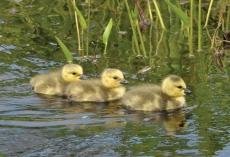 Goose, canada at LDN 1st pics 3 babies 041ax